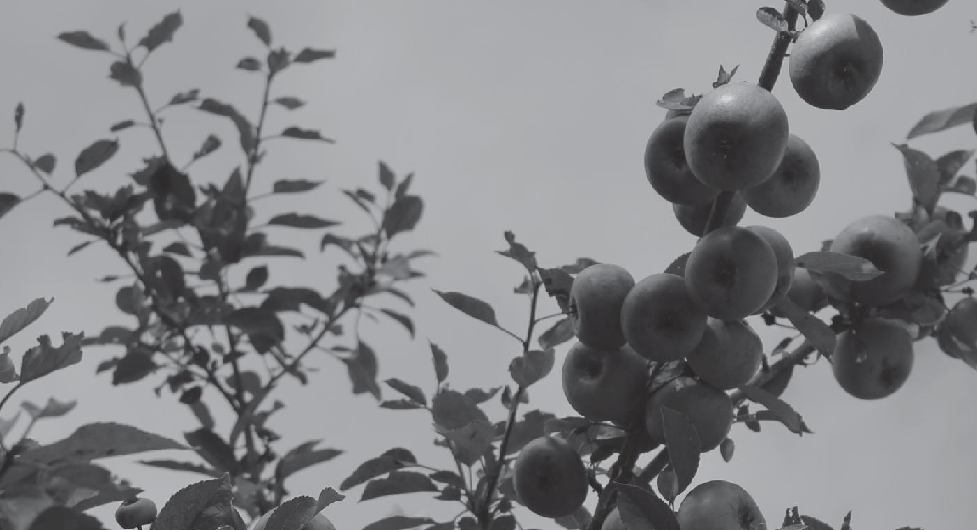 Mergelsø vilde æbler 3